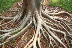 Tree Roots. In the jungle of Thailand Stock Image