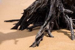 Tree roots on the beach Royalty Free Stock Photos