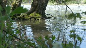 Tree Roots in Lake stock footage
