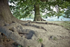 Tree roots Royalty Free Stock Photo