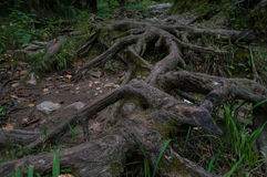The tree roots. The large roots of a tree growing over a path through the forest Royalty Free Stock Photos