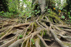 Tree roots. A lot of Tree roots in jungle Royalty Free Stock Image