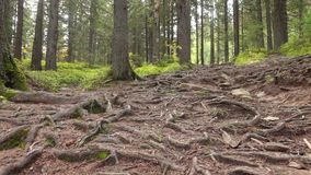Tree Roots in a Magic Pine Forest. On the Hillside stock footage