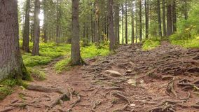 Tree Roots in a Magic Pine Forest. On the Hillside stock video footage