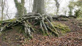 Tree roots. Royalty Free Stock Images