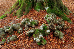 Tree roots and moss Royalty Free Stock Images