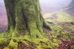 Tree roots with moss on forest Royalty Free Stock Image