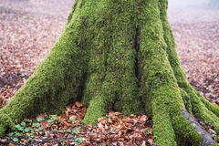 Tree roots with moss on forest Royalty Free Stock Photography