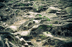 Tree roots and moss on the ground Royalty Free Stock Image
