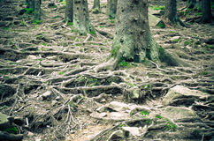 Tree roots and moss on the ground Stock Photography