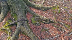 Tree roots with moss Royalty Free Stock Photos