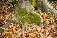 Tree Roots With Moss Royalty Free Stock Image