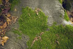 Tree Roots With Moss Royalty Free Stock Images