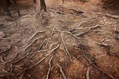 Tree roots in the mountains royalty free stock image