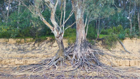 Tree Roots on the Murray River Stock Photo