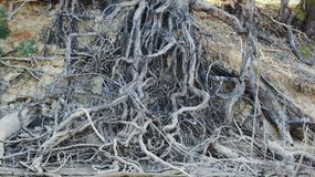 Tree Roots on the Murray River Royalty Free Stock Photo