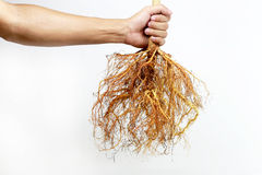 Tree roots on my hands. Tree roots on a white background royalty free stock photography