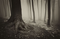 Tree with roots in a mysterious forest with fog Royalty Free Stock Image