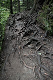 Tree roots near Sumela monastery. Old tree roots on the path leading to Sumela monastery, in Altindere valley, Turkey Stock Photo