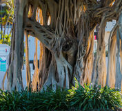 Tree Roots. Of an old Fig tree Stock Photos
