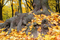Tree Roots. The roots of the old mighty maple under the fallen leaves Stock Photo
