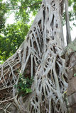 Tree roots over the Ta Prohm Stock Image