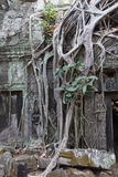 Tree roots overwhelm ancient temple Stock Images