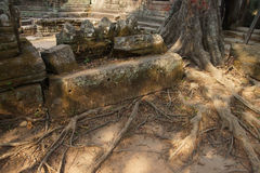 Tree roots overwhelm ancient temple wall Royalty Free Stock Images