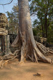 Tree roots overwhelm ancient temple wall Stock Images