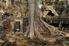 Tree roots overwhelm ancient temple wall Royalty Free Stock Photography