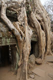 Tree roots overwhelm ancient temple Royalty Free Stock Photo