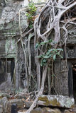 Tree roots overwhelm ancient temple Royalty Free Stock Images