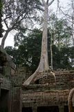 Tree roots overwhelm ancient temple walls Stock Images