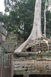 Tree roots overwhelm ancient temple walls Royalty Free Stock Image