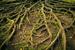 Tree roots. Tree roots at Park in Lisbon stock photos