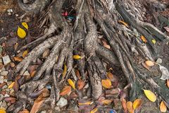 Tree Roots in park of Thailand. Tree Roots in park of Thailand Royalty Free Stock Image