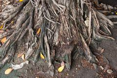 Tree Roots in park of Thailand. Tree Roots in park of Thailand Royalty Free Stock Images