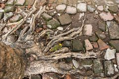 Tree Roots in park of Thailand. Tree Roots in park of Thailand Royalty Free Stock Photography