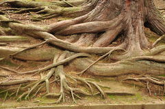 Tree root pattern Royalty Free Stock Photos