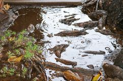 Tree roots pool water during rain possibly causing flooding, sewer or plumbing problems. Magnolia tree roots pool water during rain possibly causing flooding royalty free stock photo