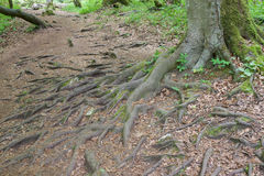 Tree roots protruding from the ground. Tree trunk and roots protruding from the ground Royalty Free Stock Photo