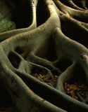 Tree Roots-Pt. I Royalty Free Stock Photography