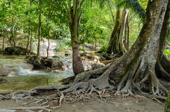 Tree with roots in the rainforest, jungle Royalty Free Stock Photography