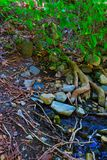 Tree roots reaching into a spring. Water source flowing out of a river bank Stock Photos