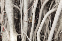 Tree roots Stock Image