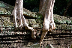 Tree roots upon ruin walls at Ta Prohm temple Royalty Free Stock Photography