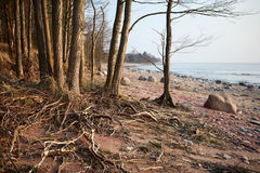 Tree roots at seaside Royalty Free Stock Photography