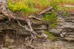Tree Roots In Shale. Tree Roots growing In Shale with flowers Stock Image