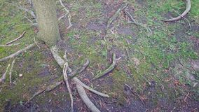 Tree Roots. Shallow tree roots showing above the ground from a young tree royalty free stock photo
