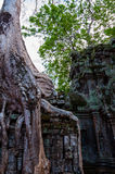 Tree with roots sitting on stone temple Ta Prohm Stock Image